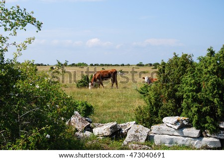 Calm scene with grazing cattle in a plain pasture land on the Swedish island Oland