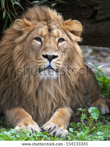 Calmness of an Asian lion, resting in forest shadow. The King of beasts, biggest cat of the world. The most dangerous and mighty predator of the world. Wild beauty of the nature.  - stock photo