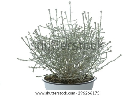Calocephalus brownii plant in a pot - stock photo