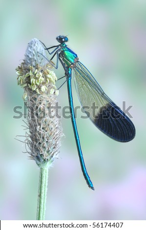 Calopteryx syriaca (male) - stock photo