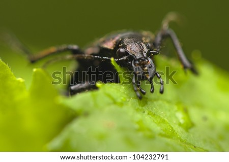 Calosoma inquisitor - stock photo