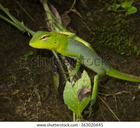 Calotes lizard in the jungle of Sri Lanka - stock photo
