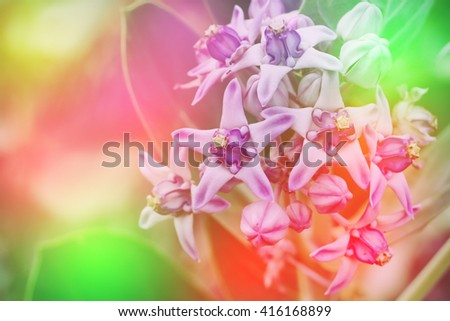 calotropis gigantea flower with colorful color made from  filter