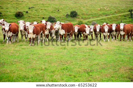 Calves at a pasture in New Zealand - stock photo