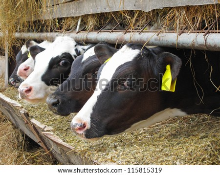 Calves in row. Breeding on bio farm in European union. - stock photo