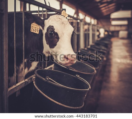 Calves in the cowshed in dairy farm. - stock photo