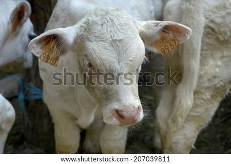 calves on farm - stock photo