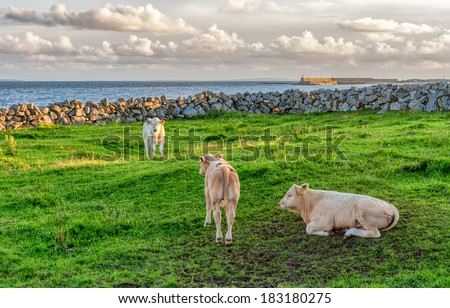 Calves on green grass in Ireland. Galway Bay is in the background. - stock photo