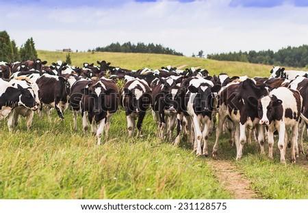 calves on pasture  - stock photo