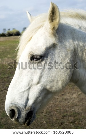 Camargue horse, portrait - stock photo