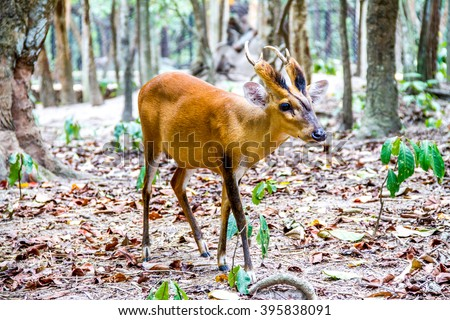 CAMBODIA 2015 - Cute spotted fallow deer - stock photo