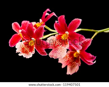 Cambria. Red and white flower orchid - stock photo