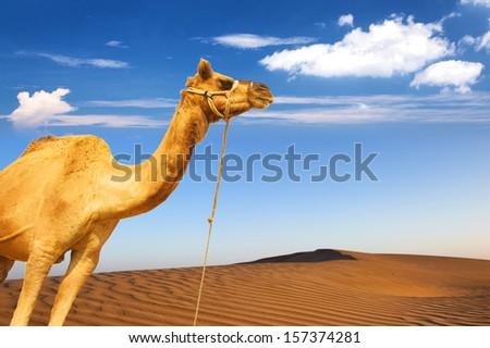 Camel and desert sand dunes panoramic landscape. Adventure travel tourism journey background - stock photo