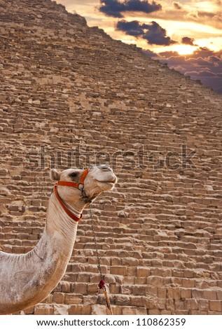 Camel and Pyramids - stock photo