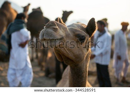 Camel at Pushkar camel fair, Rajasthan, India, 2015