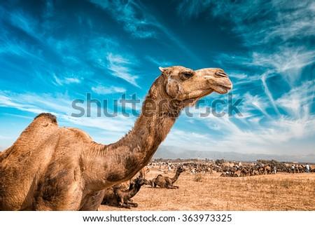 Camel at Pushkar Mela  - famous annual camel and livestock fair, held in the town of Pushkar, Rajasthan, India - stock photo