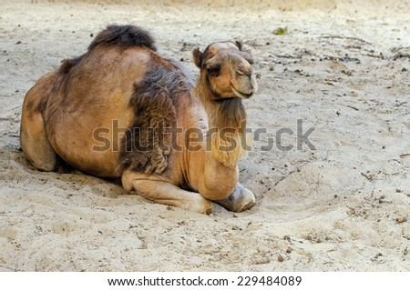 Camel at the Pushkar Fair ( Pushkar Camel Mela ) Rajasthan, India - stock photo