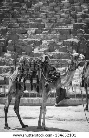 Camel At The Pyramids In Cairo Egypt