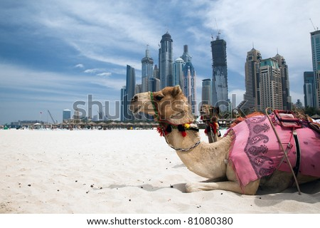 Camel at the urban background of Dubai. - stock photo