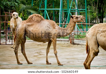 Camel at the zoo. - stock photo