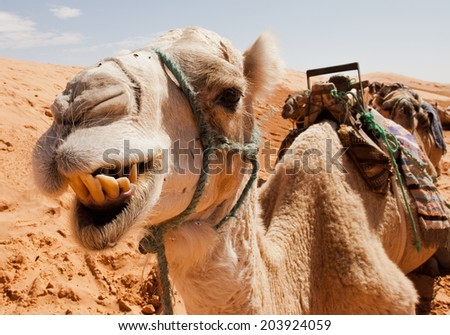 Camel chewing - stock photo