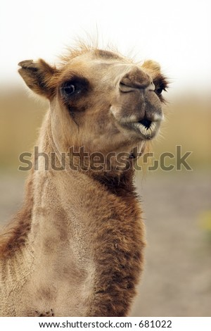 Camel closeup with lips looking like it's ready to kiss you. - stock photo