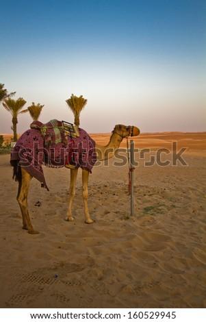 Camel - Desert Ship - stock photo