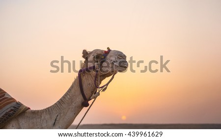 Camel desert sunset. Camel portrait with a saddle on the background of sunset in the distant hot desert. Desert trip - stock photo