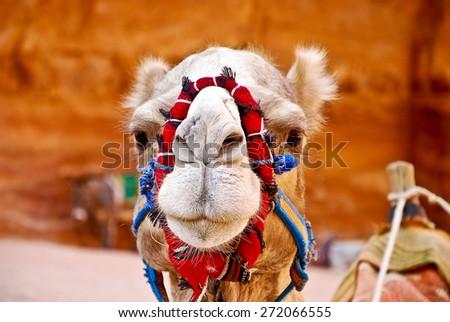 Camel Face - stock photo