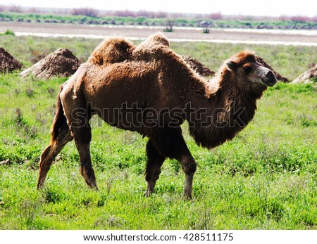 camel grazing in a field