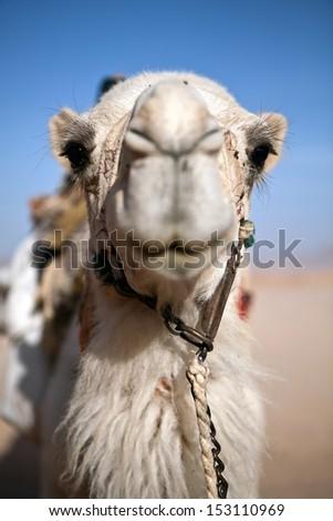 Camel Head - stock photo