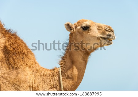 camel head with neck on blue background - stock photo