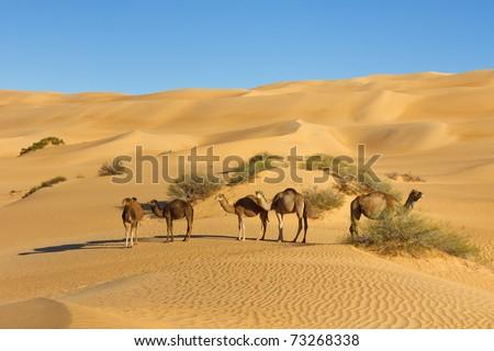 Camel Herd in the Desert - Awbari Sand Sea, Sahara Desert, Libya - stock photo