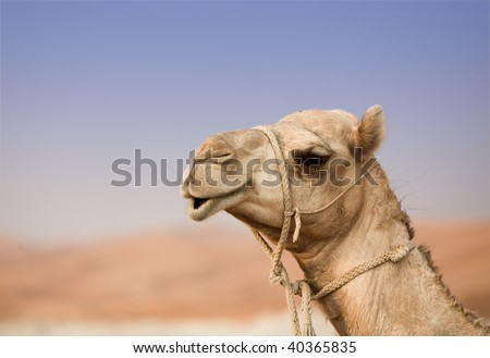 Camel in desert - stock photo