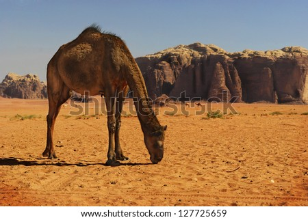 Camel in desert of Wadi Rum, Jordan - stock photo