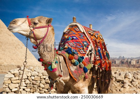 Camel in Egypt, on background Pyramid - stock photo