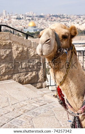Camel in front of the Dome of Rock in Jerusalem. Israel - stock photo