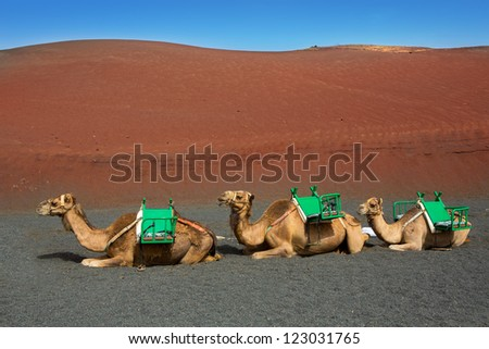 Camel in Lanzarote in timanfaya fire mountains at Canary Islands