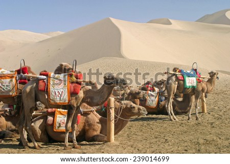 Camel in Mingsha Shan, Dunhuang, China - stock photo