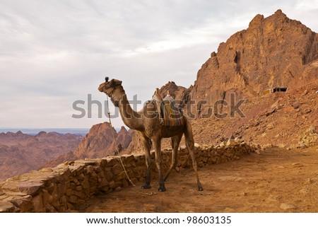 Camel in mountains. Mount Sinai. - stock photo