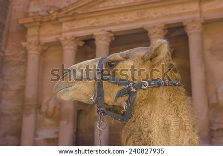 Camel in Petra with Treasury in the background. - stock photo