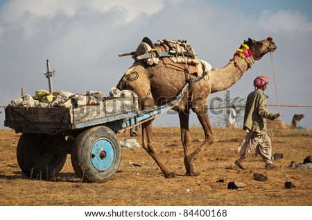 Camel in Pushkar, Rajasthan, India - stock photo