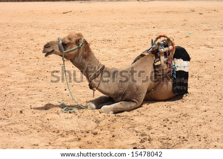 camel in sahara - stock photo