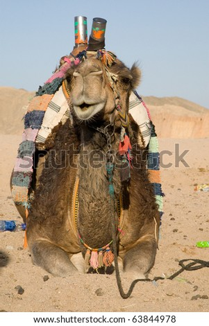 Camel in Sahara Desert, Egypt, On A Sunny Summer Day - stock photo