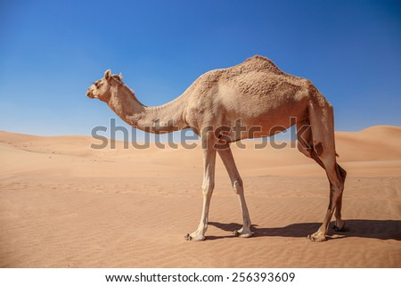 Camel in the Arabian desert - stock photo