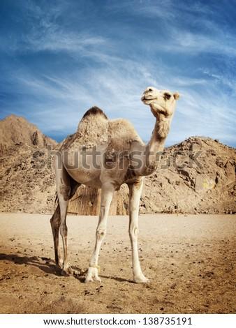 Camel in the desert in Egypt - stock photo