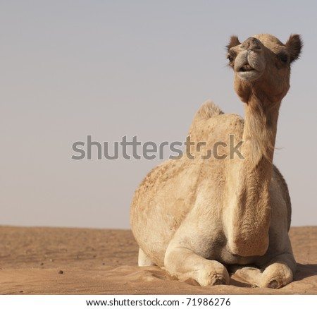 Camel in the desert outside Dubai in UAE. - stock photo