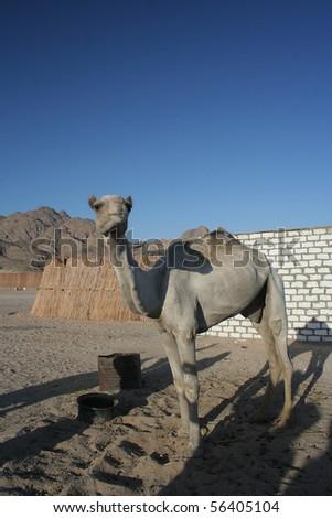 Camel in the desert Sahara, Egypt - stock photo