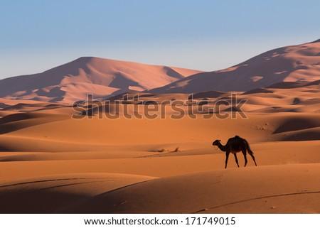 Camel in the desert Sahara, Morocco - stock photo