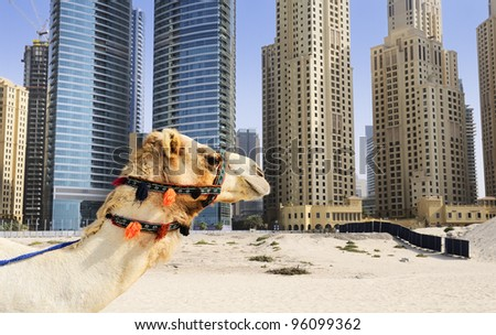 Camel in the famous Duba? modern city, United Arab Emirates - stock photo